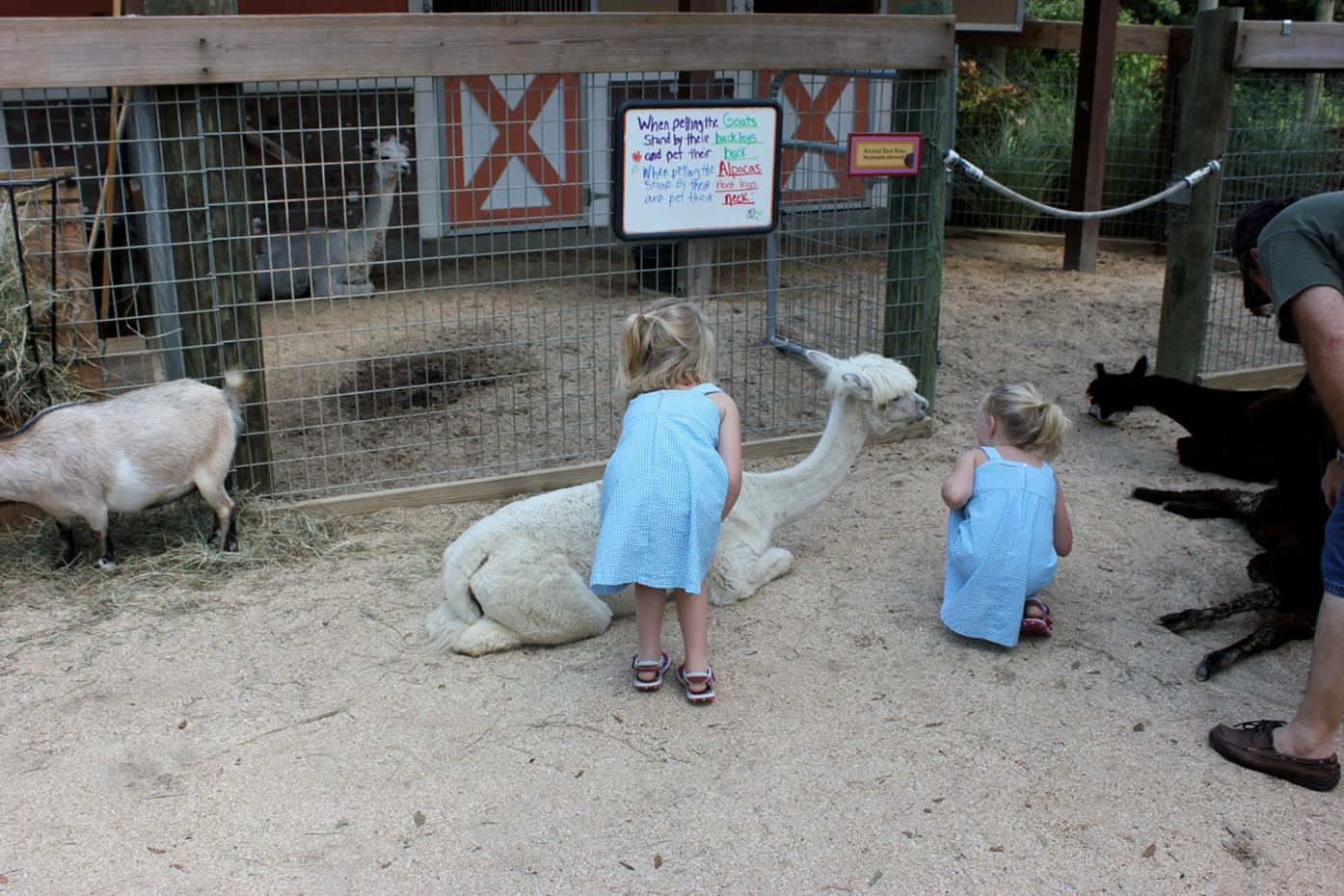 Brevard Zoo Petting Zoo Llamas