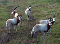 Safari Style veiðar í Flórída